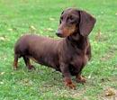 Cachorro de Raça - dachshund