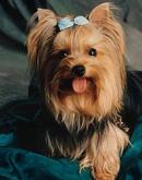 cachorro de raça - yorkshire terrier