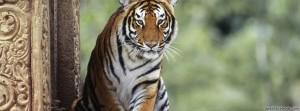 capas-para-facebook-tigre
