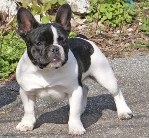 bulldog-frances-foto-2