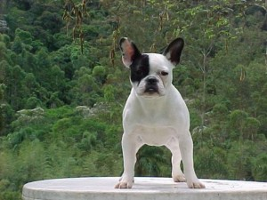 bulldog-frances-foto-3