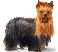 Cachorro-Raca-Yorkshire-12