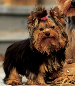 Cachorro-Raca-Yorkshire-4