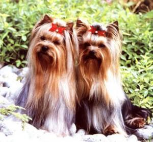 Cachorro-Raca-Yorkshire-6