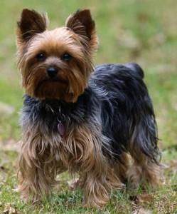 Cachorro-Raca-Yorkshire-7