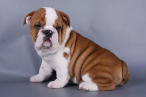 bulldog-ingles-1
