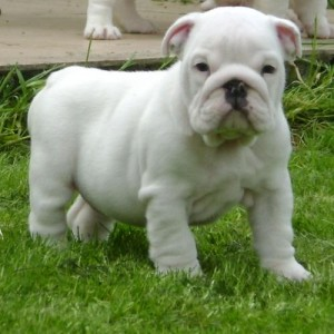 bulldog-ingles-13