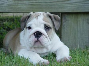 bulldog-ingles-15