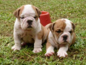 bulldog-ingles-2