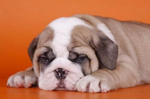 bulldog-ingles-5