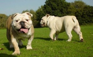 bulldog-ingles-7