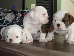 bulldog-ingles-9