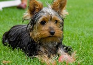 cachorro-raca-yorkshire-5a
