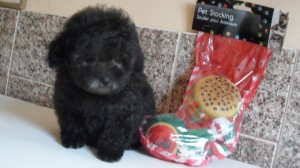 poodle-toy-10
