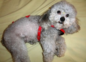 poodle-toy-11