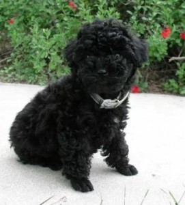 poodle-toy-16