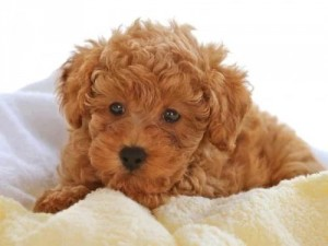 poodle-toy-19