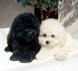 poodle-toy-4