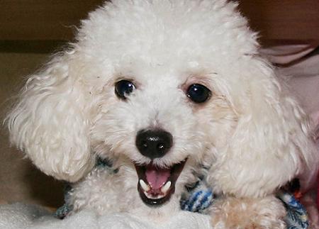 poodle toy tem no maximo 28 centimetros poodle mini ou anao tem