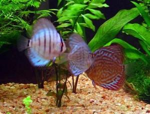 aquario-de-peixes-27