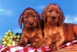 filhotes-de-cachorro-19