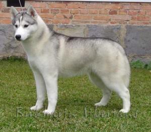 husky-siberiano-3