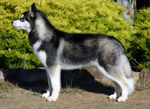 husky-siberiano-5