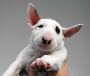 bull-terrier-1