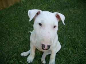 bull-terrier-10