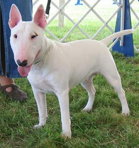 bull-terrier-12
