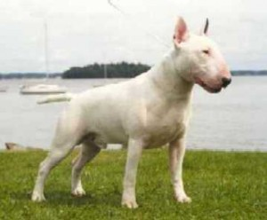 bull-terrier-15