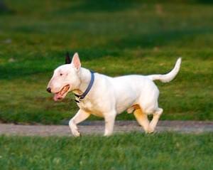 bull-terrier-17