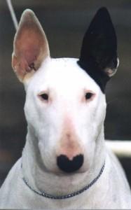 bull-terrier-18