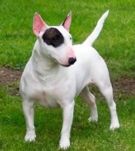 bull-terrier-7