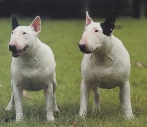 bull-terrier-8