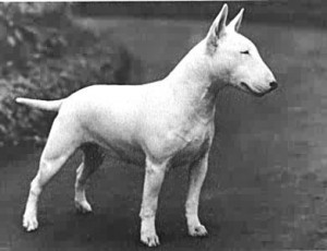 bull-terrier-9