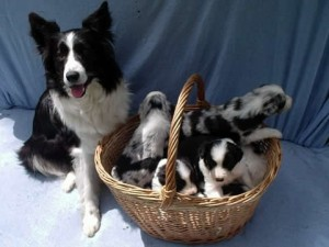 border-collie-1