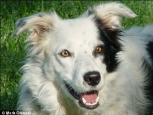border-collie-14