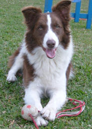 border-collie-15