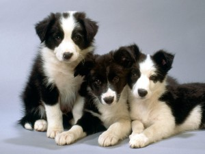 border-collie-4
