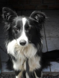 border-collie-5