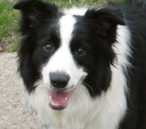 border-collie-7