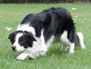 border-collie-8